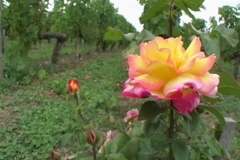 16_margaux_rose